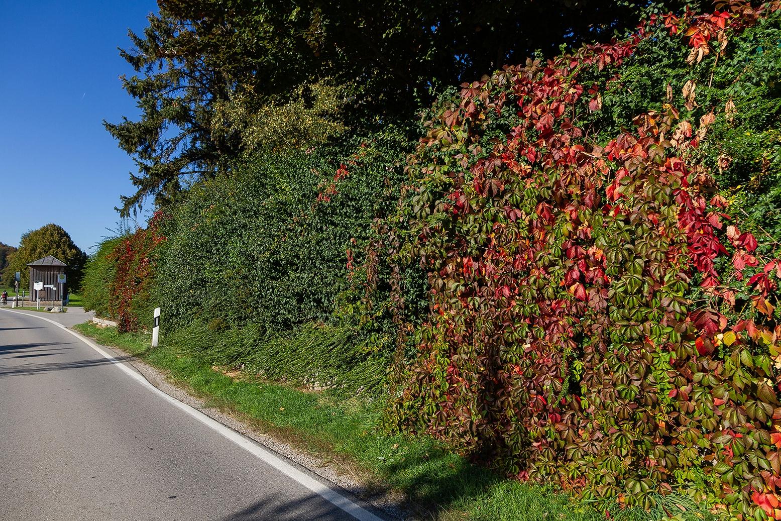 naturawall im Herbst mit den schönen rot gefärbten Weinblättern