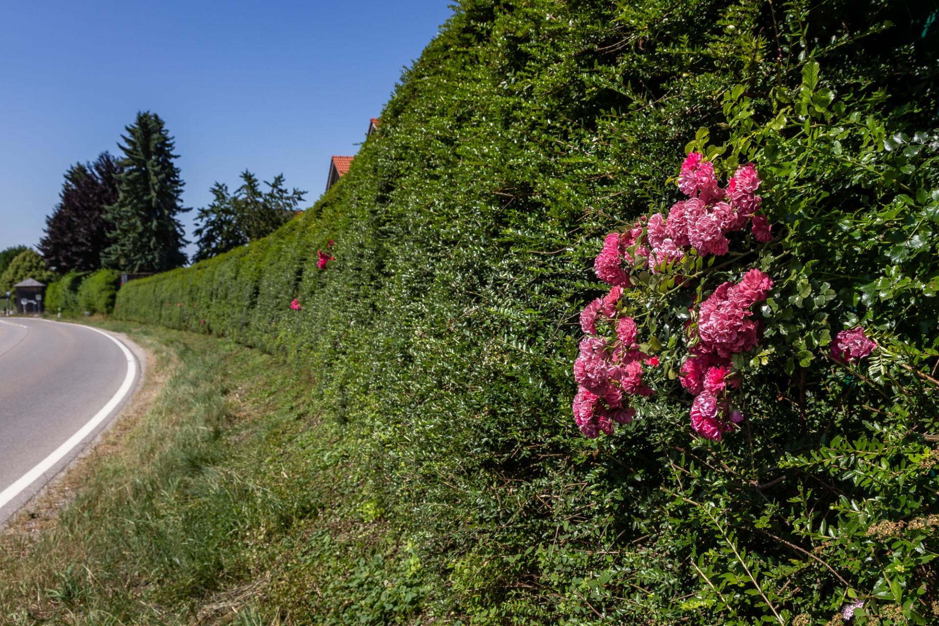 Ökologische Lärmschutzwand voll begrünt mit Rosen