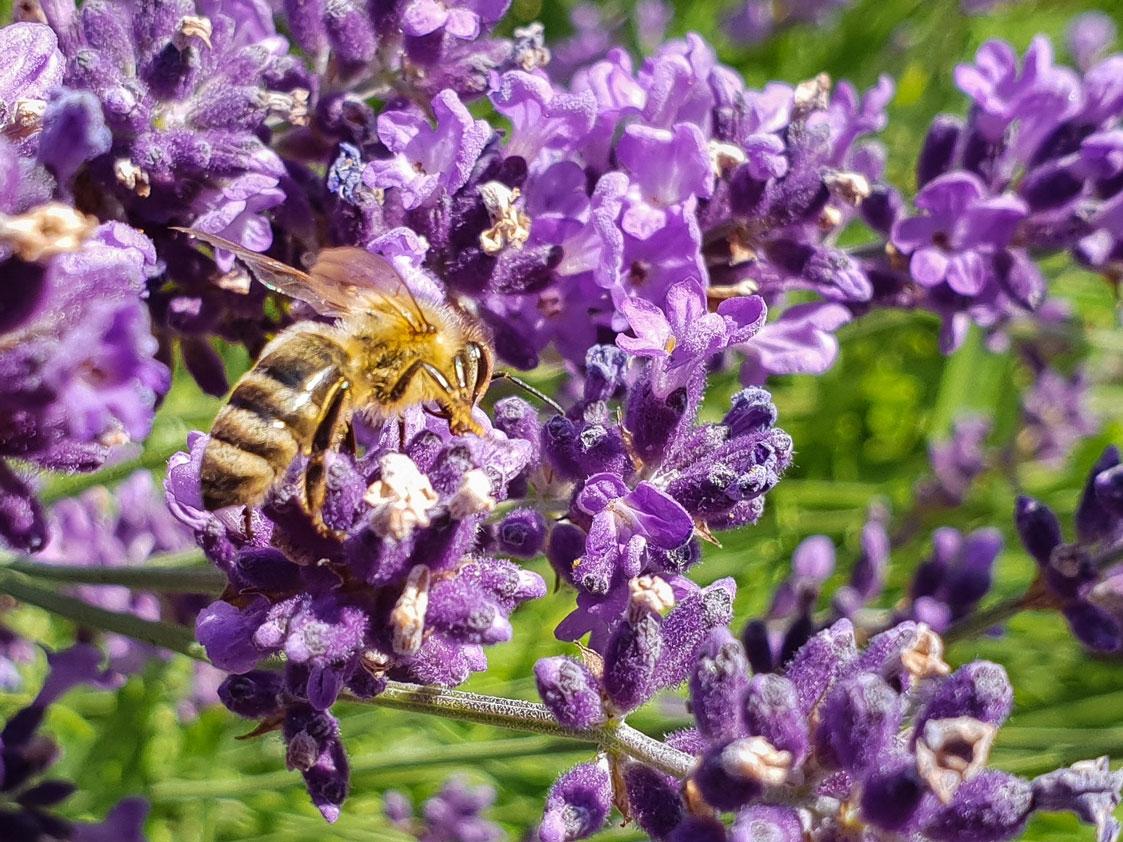 Biene naturawall Bienensterben Artenvielfalt Volksbegehren Lärmschutzwand Biodiversität