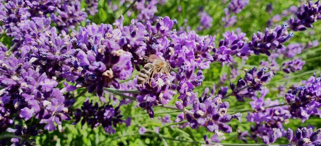 Auch Bienen fühlen sich Wohl im Lavendel - naturawall Lärmschutz im Garten