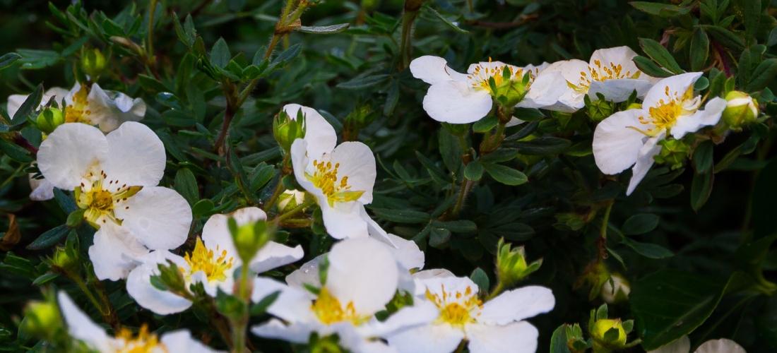 Weiße Blüten an einer naturawall Lärmschutzwand