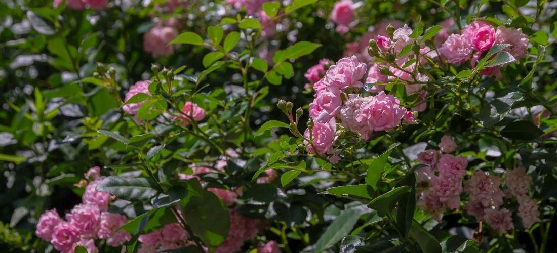 Blühende Rosen an einer naturawall Lärmschutzwand